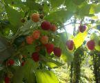 Саджанці плодових кущів та дерев