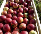 Яблука зимові