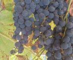 Виноград безкоштовно
