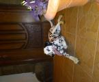 Собака далматинець