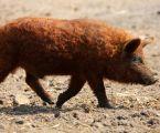 Чистопородні свині